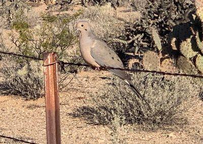 Dove at Tucson RV Park